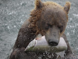 Brown Bear Catches a Pink Salmon Fish in Kuril Lake