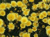 Desert Dandelions in a Field