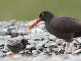 Adult Black Oystercatcher  Haematopus Bachmani  and Her Young