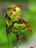 Two Pitcher Plant Flowers in a Bog