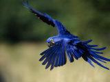 Hyacinth Macaw in Flight
