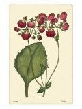 Red Curtis Botanical IV