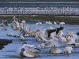 Great White Pelicans Bathe and Drink after Fishing in Alkaline Lake
