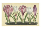 Crocus II