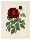 Van Houtteano Rose II