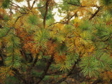 Close View of the Branches of a Pine Tree in the Fall