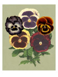 Tricolor Pansies II