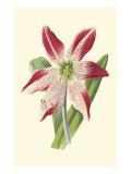 Amaryllis Blooms IV