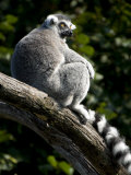Endangered Ring-Tailed Lemur Sunning Itself on a Large Tree Branch
