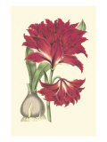Amaryllis Blooms II