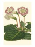 Gloxinia Garden II