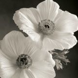 Poppy Study I