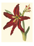 Amaryllis II