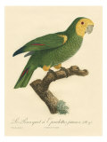 Barraband Parrot No 98