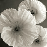 Poppy Study IV