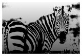 Zebra Chrome I