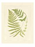Ferns with Platemark V