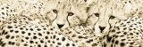 Cheetahama