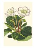 Gloxinia Garden IV