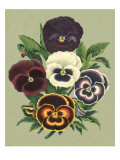 Tricolor Pansies I