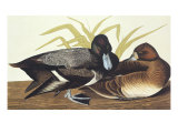 Scaup Duck