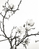 Branch of Magnolia