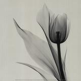 Tulipe Reproduction d'art par Marianne Haas