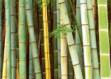 Bamboo Forest  Sagano  Japan