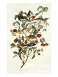 Audubon&#39;s Warbler