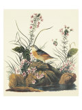 Yellow-Winged Sparrow