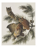 Little Screech Owl or Mottled Owl