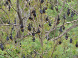 Flying Foxes Resting in Tree  Yarra Bend Park  Melbourne  Victoria  Australia  Pacific