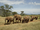 Line of African Elephants (Loxodonta Africana)  Samburu National Reserve  Kenya  East Africa