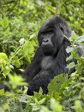 Silverback Mountain Gorilla (Gorilla Gorilla Beringei)  Shinda Group  Volcanos National Park