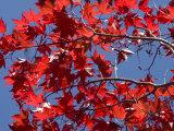 Japanese Maple in Autumn  Akan National Park  Hokkaido  Japan