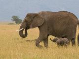 African Elephant and Baby (Loxodonta Africana)  Masai Mara National Reserve  Kenya
