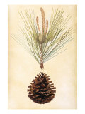 Pine Cone III