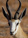 Springbok (Antidorcas Marsupialis)  Kgalagadi Transfrontier Park  South Africa