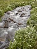 Stream Lined with Heartleaved Bittercress  San Juan National Forest  Colorado  Usa