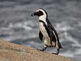 African Penguin (Spheniscus Demersus)  Simon's Town  South Africa  Africa