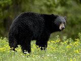 Black Bear (Ursus Americanus)  Manning Provincial Park  British Columbia  Canada  North America