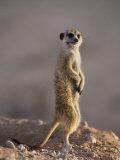 Meerkat Sentinel (Suricatta Suricata)  Kgalagadi Transfrontier Park  Northern Cape  South Africa