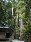 Cedar Trees at Futarasan Shinto Shrine  Nikko Temples  UNESCO World Heritage Site  Honshu  Japan