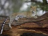 Leopard (Panthera Pardus)  Samburu National Reserve  Kenya  East Africa  Africa