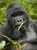 Silverback Mountain Gorilla (Gorilla Gorilla Beringei)  Group 13  Volcanoes National Park  Rwanda