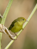 Yellow Warbler (Dendroica Petechia)  Near Palmer  Alaska  United States of America  North America