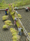 Rice Harvest  Hanging Out Cut Rice to Dry  Hiraizumi  Iwate-Ken  Northern Honshu  Japan  Asia