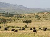 Cape Buffalo (Syncerus Caffer)  Masai Mara National Reserve  Kenya  East Africa  Africa