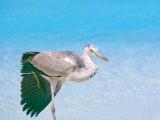 Blue Heron  Maldives  Indian Ocean  Asia