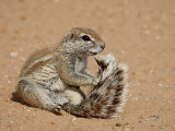 Cape Ground Squirrel (Xerus Inauris) Grooming  Kgalagadi Transfrontier Park  South Africa